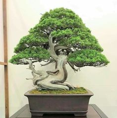 Bonsai Art, Bonsai Trees, Juniper Bonsai, All About Plants, Nature, Pictures, Gardening, Beautiful, Plants