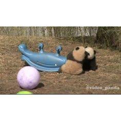 Funny baby Pandas # #videopanda  via ✨ @padgram ✨(http://dl.padgram.com)