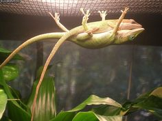 The things we do for love 2 Lizards