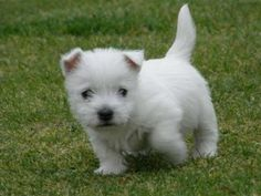 Those pups have been selected and bred to obtain the West Highland White Terrier, which can be merely a white Cairn. West Highland Terrier Puppy, Highlands Terrier, Terrier Puppies, Terrier Mix, Westie Puppies For Sale, Cute Dogs And Puppies, Maltese Puppies, Doggies, Adorable Puppies