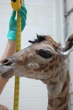 New born male Masai giraffe July 23, 2015 -The Virginia zoo