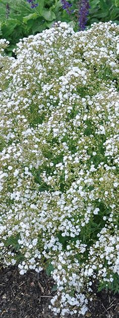 Festival Star is a Hardy Baby's Breath, with petite white blooms appearing from May through October, a wonderful cut flower option too. Its tolerance of salt makes it a strong option to brighten up a perennial garden along a roadway.