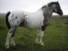 """Claymore is 1/4 Paint, 1/4 Clydesdale, and 1/2 Appaloosa. All those breeds mishmashed sure turned out a remarkable horse! He is an 8 year old sorrel roaned-tobiano pintaloosa gelding"""""""