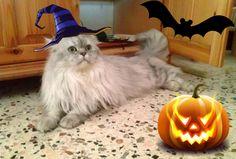 #Happy #Halloween from #Romeo the #persian #cat