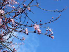 Cherry tree in bloom. Burbage.