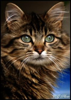 a beautiful cat i once had a Maine coon cat called Gee. Looked just like this one.