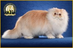 GC, BW, NW PaJean's Fire of Surreal, Shaded Cameo Male Persian - 16th Best Cat in North America/Japan/Europe