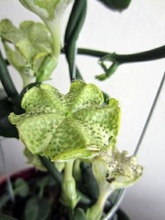 Parachute plant (Ceropegia sandersonii) | Flickr - Photo Sharing!