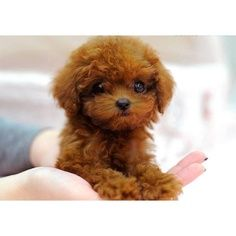 More About The Active Poodle Puppies Personality Micro Teacup Poodle, Teacup Poodle Puppies, Micro Teacup Puppies, Tea Cup Poodle, Tiny Puppies, Cute Puppies, Cute Dogs, Teacup Dogs, Teacup Maltipoo