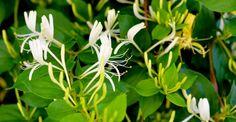 Esenţialul despre îngrijirea caprifoiului | Paradis Verde Plants, Garden Trees, Home And Garden, Landscape, Permaculture, Herbs, Plant Leaves, Patio Plans, Garden