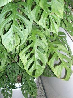 philodendron leichtlinii