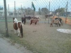 Mini-horses housed temporarily on the Sedgefield Schoolgrounds. Amazing rescue efforts in very difficult circumstances! Mini Horses, Giraffe, June, Amazing, Garden, Animals, Felt Giraffe, Garten, Animales