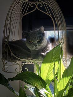 H3 Nagini Dos Aguas Gatos British, Gato Grande, Cattery, British Shorthair, Cats, Animals, Factory Farming, Gatos, Animales