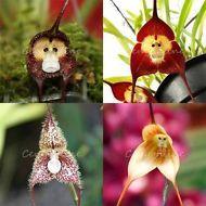 40pcs 5 Colori Misto Scimmia Faccia Semi Bellissima Orchidea Dracula Raro Fiori