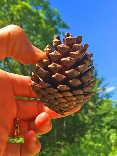 Small Cones from Pitch Pine Tree Cones are Popular for Wedding Decor 🌲