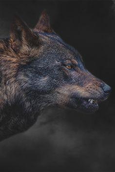 smokin' wolf by Sue Demetriou        Untamable ©      ~