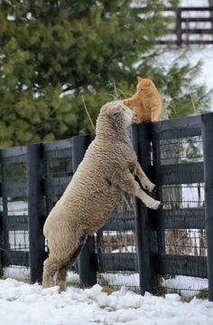 Unlikely Friends ➖➖➖➖➖➖➖➖➖ Cat ➖➖➖➖➖➖➖➖➖ Sheep Farm Animals, Animals And Pets, Funny Animals, Cute Animals, Wild Animals, Unlikely Friends, Tier Fotos, Crazy Cats, Pet Birds