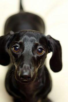 Shiny dachshund #sleek #silky #black #doxie #cute #dogs #animals #puppy #pets