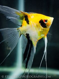 Gold Marble freshwater angelfish