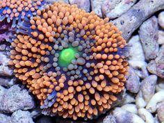 Ricordea (Ricordea Florida) in zee aquarium Ricordea zijn verwant aan de schijfanemonen. Ze zijn niet zo sterk als de schijfanemoon, maar een heel stuk attractiever. Ze zijn er in allerlei fluorescerende kleuren. Het zijn makkelijke koralen om een zee aquarium mee te beginnen.