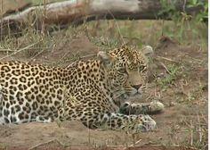 11-16-15 Queen...Karula on #safarilive