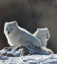 Arctic foxes from the Detroit Zoo Arctic Fox Exhibit. Arctic Animals, Arctic Fox, Baby Animals, Cute Animals, Wild Creatures, Cute Creatures, Beautiful Creatures, Detroit Zoo, Fox Pictures