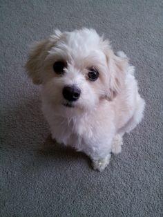 My teddy bear dog, Bella:)