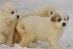 Great Pyrenese-awww