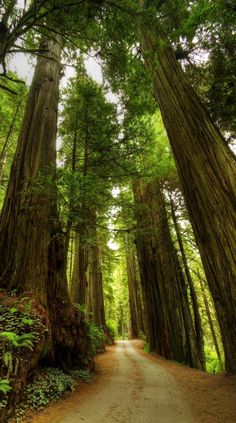 A narrow road through the Redwood Forest.   |   Check Out The Most Majestically…