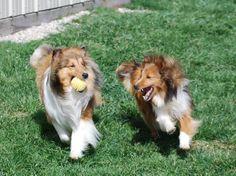 Shelties-Give me that ball! BellaRose Shelties
