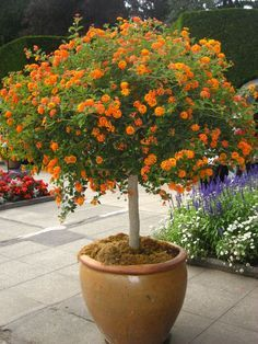 Lantana in tree form. To start a lantana tree, plant a small plant in spring, into a larger container. Begin shaping the tree as soon as new growth begins. Lantana Plant How To Grow And Care For Lantana Trees Large Lantana Tree For Sale LANTANA TREE Begin Drought Tolerant Garden, Container Gardening, Lantana, Small Plants, Container Plants, Trees To Plant, Lantana Tree, Plants, Orange Plant