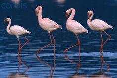 Lesser Flamingos (They need a yo-yo!)