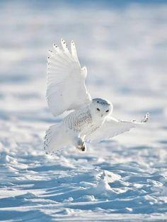 Snowy Owl Landing on Snow Photographic Print by Bernard Friel Beautiful Owl, Animals Beautiful, Cute Animals, Owl Photos, Owl Pictures, Owl Bird, Pet Birds, Owl Wings, Bird Barn