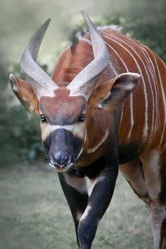 Бонго (Tragelaphus eurycerus) находящихся под угрозой исчезновения Красный список угрожаемых видов