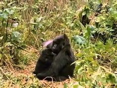 Mountain Gorillas (AMAZING IMAX Nature Documentary)