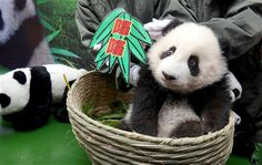 Dec. 20, 2013: After a two-month public vote, the first baby panda born in southern China's Guangdong Province finally has a name. After Gua...