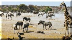 An established safari outfitter for customized trips and small group departures. Owners Mark and Alison Nolting and their team of expert consultants are Africa specialists.Join our Africa Day Namibia Spectacular African Animals, African Elephant, African Safari, Savanna Grassland, Blue Wildebeest, Equador, Game Reserve, Red Sea, Zebras