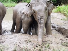 Elephant family impress their great time for mud bath