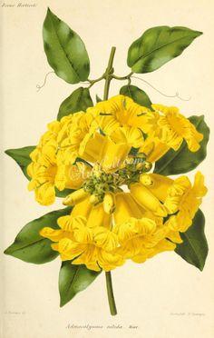 flowers-29771  adenocalymna nitida yellow flower lianas