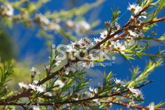 Kanuka (Kunzea ericoides) Tea Tree, Completely Defocused Royalty Free Stock Photo