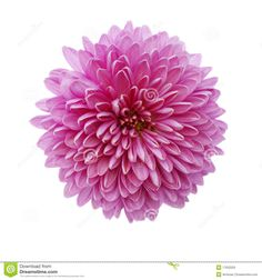 Three Spider Mums Chrysanthemum Stock Photography - Image: 14269212