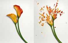 Photographer Jon Shireman has been freezing flowers in Liquid Nitrogen, then once the flowers harden he smashes them and photographs them.