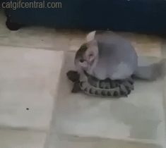 Chinchilla Rides a Turtle