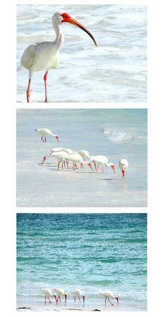 White Ibis on the Beach in Florida. Photo Prints: http://www.beachblissdesigns.com/2015/07/white-ibis-shorebirds-on-beach.html