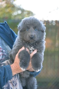 Southern Breeze Kennels Blue Bay Shepherds in Palm Bay Florida Baby Puppies, Baby Dogs, Cute Puppies, Pet Dogs, Dogs And Puppies, Dog Cat, Chihuahua Dogs, German Shepherd Dogs, German Shepherds