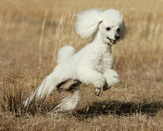 Smart and active, the Poodle is a star student in obedience training. Poodles were America's most popular breed from 1960 to 1982.