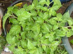 Coltivare l'Habanero Mandarino, un peperoncino super-piccante
