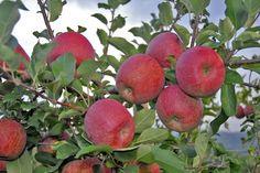 Fruit Trees in Arizona