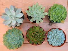 Succulent Plant Collection - 6 Succulent Rosette Shapes for Wedding Bouquets, Wedding Cake Toppers, Centerpieces, Succulent Container. $27.00, via Etsy tobleanne.