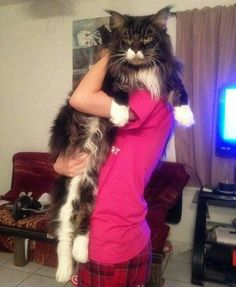 Really really amazing big maine Coon cat. I guess it's a boy due to his very wide face.